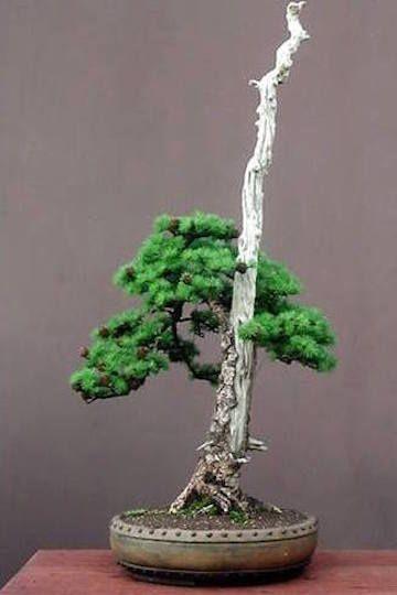 Literati bonsai bonsai del norte bonsai pinterest for Literati bonsai gallery