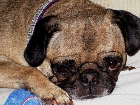 Pug Kisses Pug Puglife Pugoftheday Pugpuppy Pugs