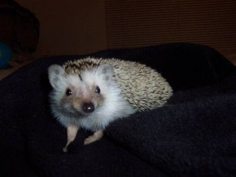 Info 101 What Type Of Bedding Is Best For Hedgehogs Types Of