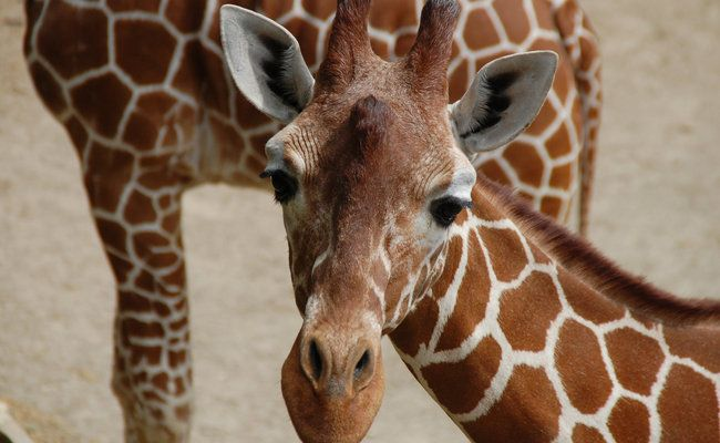 Why is This Giant Extinction in Africa Being Overlooked | African giraffe. Giraffe. Animal action