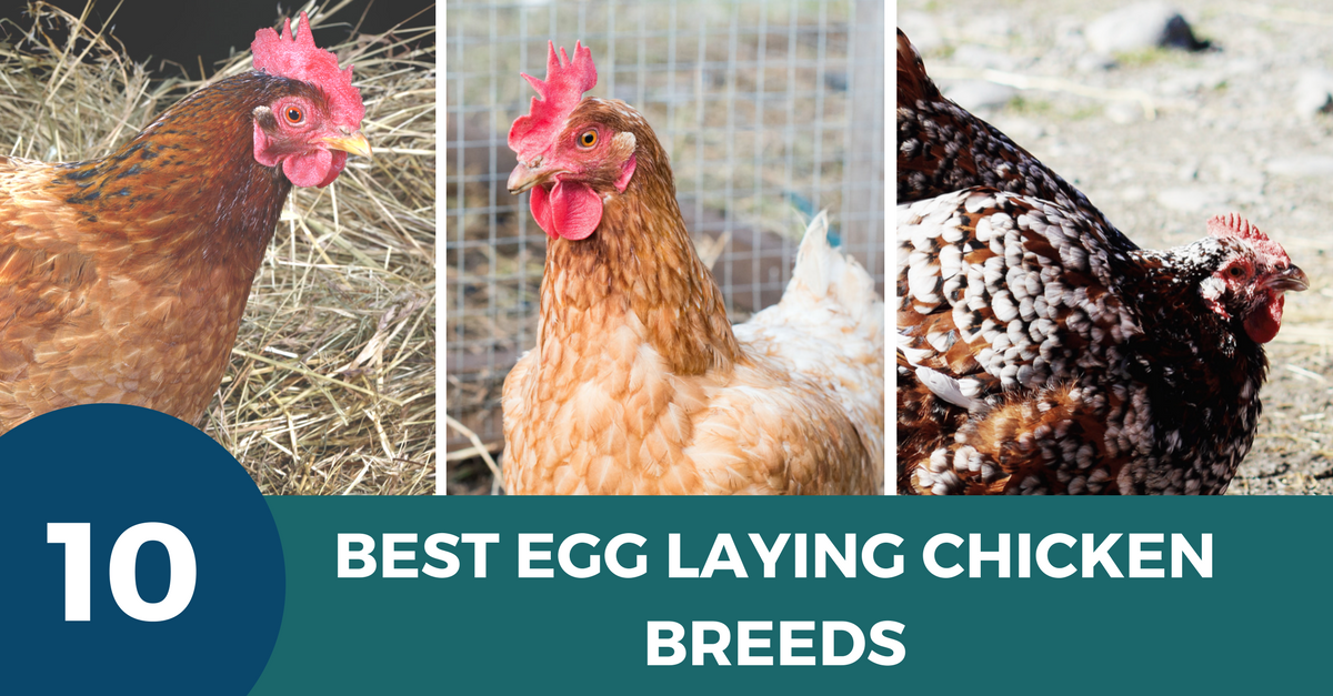 The Ten Best Egg Laying Chicken Breeds | Laying chickens ...