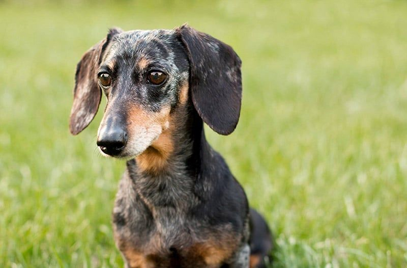 The Dachshund Breed Originated In Germany In The 1500s The Breed