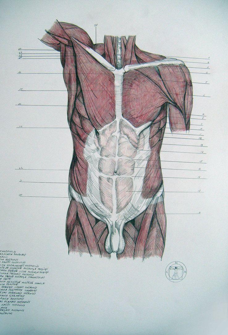 Muscles of torso, abdomen by reinisgailitis | Anatomy | Pinterest ...