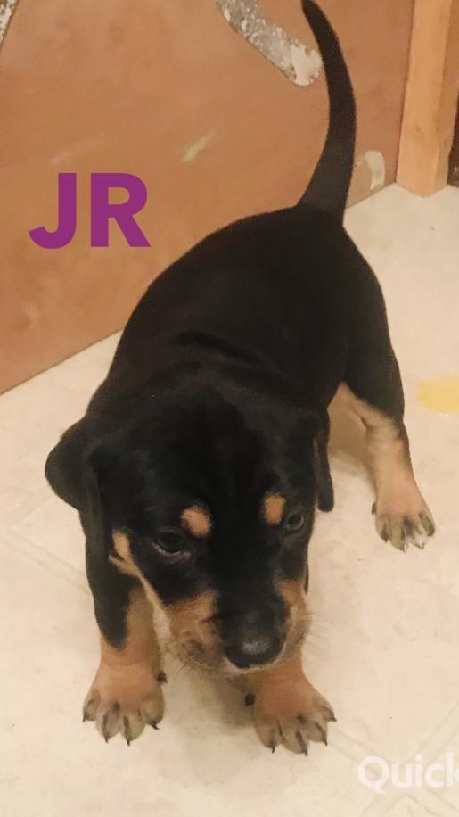 JR A Male NALC Louisiana Catahoula Leopard Puppy for