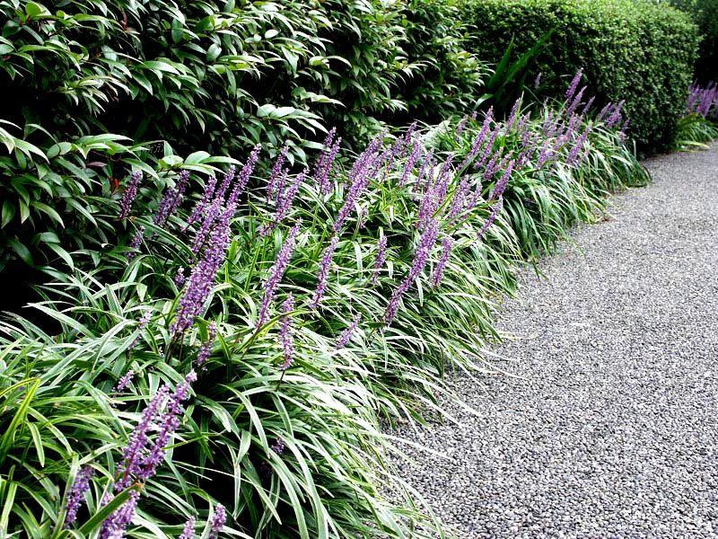 Liriope muscari 39 big blue 39 google zoeken landscaping for Large grasses for landscaping