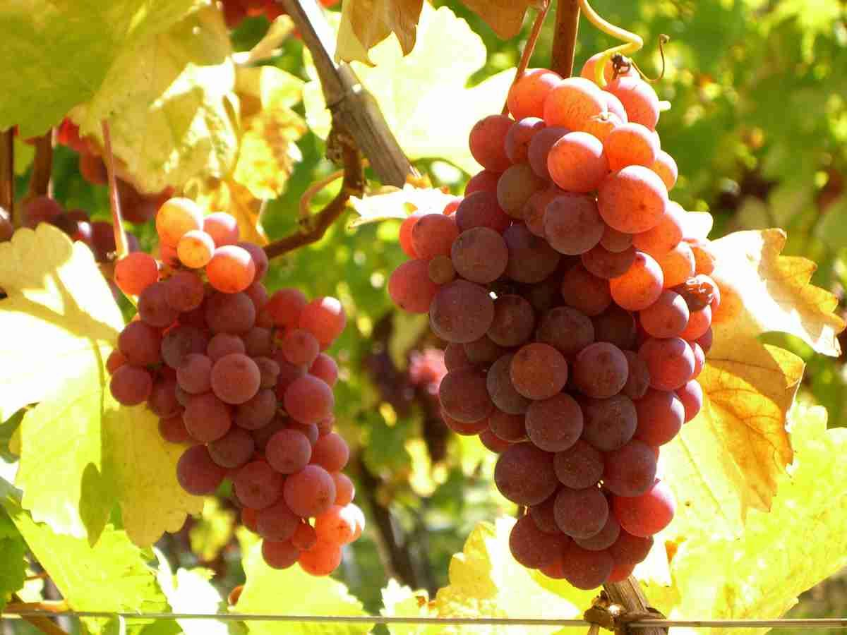 Je Suis Le Plus Riche Et Le Plus Exhuberant Des Cepages Alsaciens Mon Bouquet Offre Des Notes De Fruits Exotiques Fruit D Wine Education Sonoma Valley Wines
