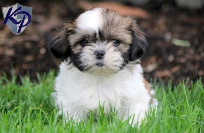 Abigail Shih Tzu Puppies For Sale In Pa Keystone Puppies