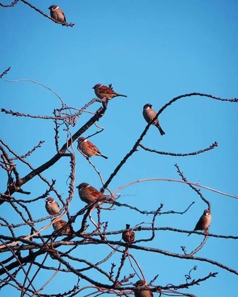 雀、鈴生り。   #bird #tree #雀 #鳥 #樹