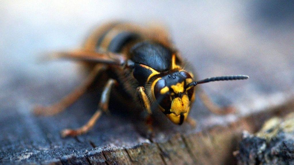 Näin pääset eroon ampiaisista pihamaallasi