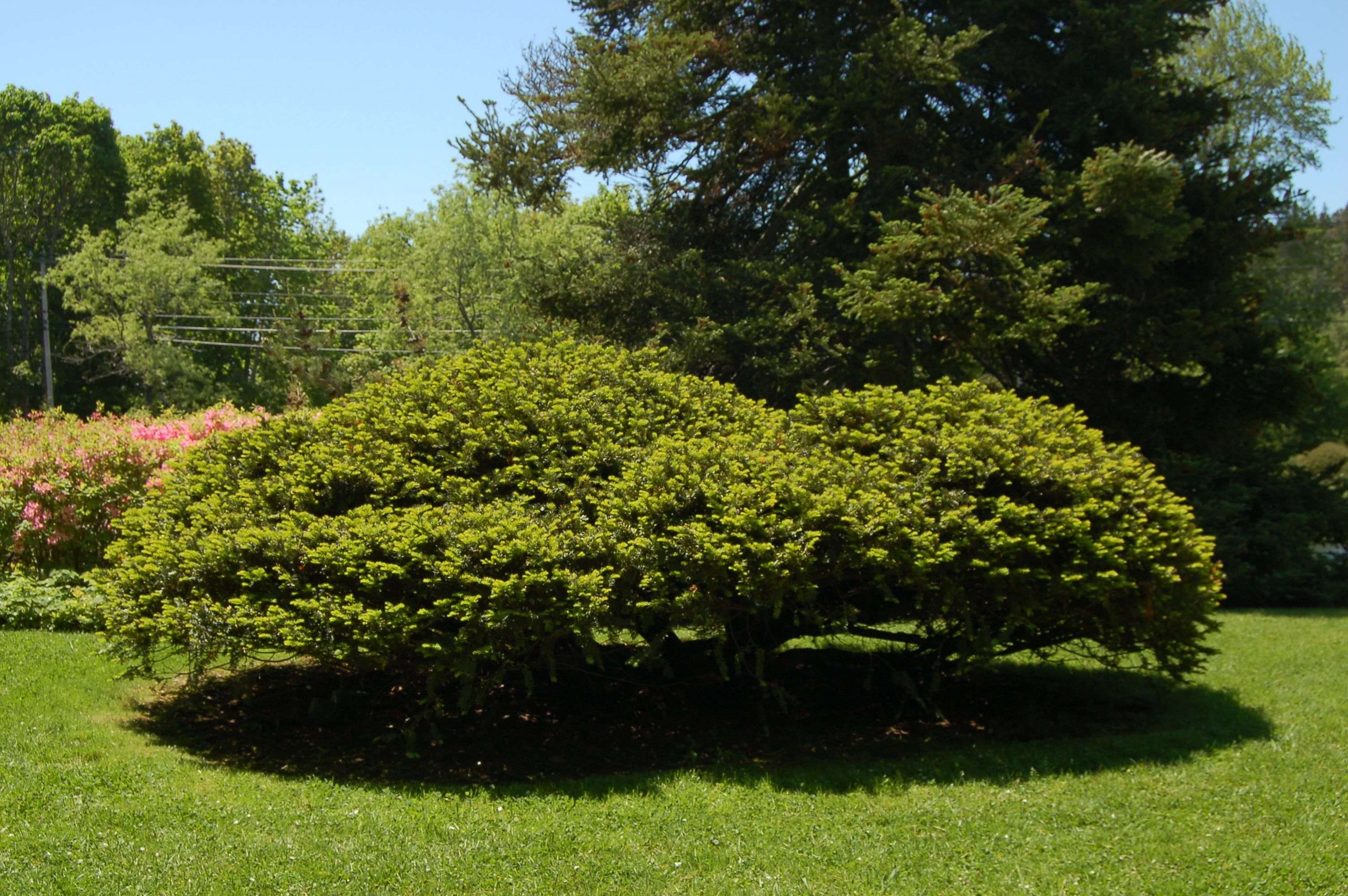 There Are Many Kinds Of Yews This One Taxus Cuspidata Is Just
