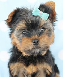 Teacup Yorkie Puppies For Sale At Teacups Puppies Teacup Puppies