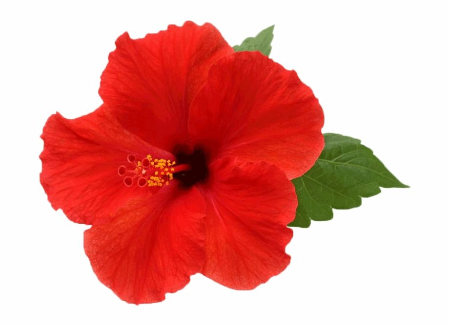 White Hibiscus Flower Png Hibiscus Flower Transparent Background Is A Free Transparent Png Image Search And Find Mo Hibiscus Flowers White Hibiscus Hibiscus