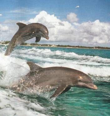 Dolphin Watching Facebook: Anna Maria Island Beach Life www.annamariaislandhomerental.com Twitter: AMIHomerental