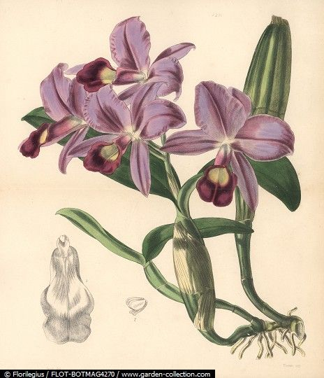 Mr. Skinner's cattleya orchid, Cattleya skinneri. Hand-coloured botanical illustration drawn and lithographed by Walter Hood Fitch for Sir William Jackson Hooker's Curtis's Botanical Magazine, London, Reeve Brothers, 1846.