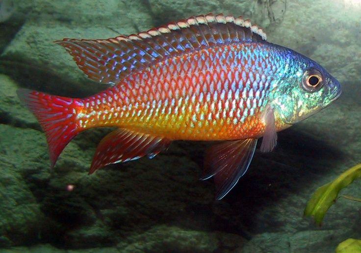 Red Empress Cichlid Cichlid Fish Freshwater Aquarium Fish Aquarium Fish Tank