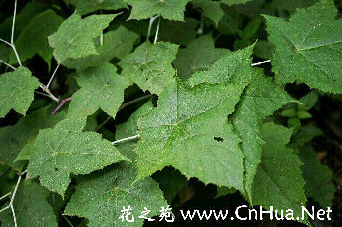 盾叶莓 -   学名:Rubus peltatus