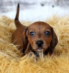 Adopt Nutmeg Nottingham On Adoptable Dachshund Dog Dachshund