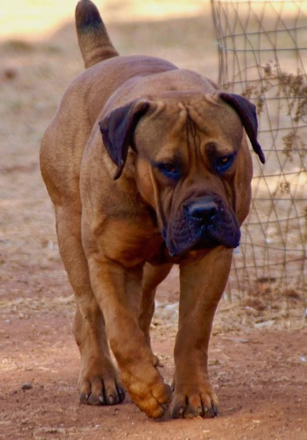 Coomore Frodo, owned by James Brennan | Huge dogs, Dogs ...