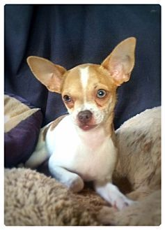 Raleigh, NC Chihuahua Mix. Meet Twiggy, a puppy for