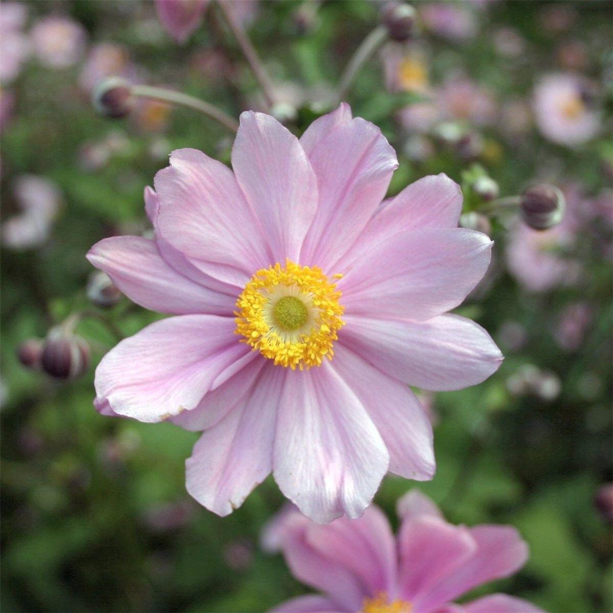 Hybrid Windflower Serenade Anemone X Hybrida 24 Tall Blooms