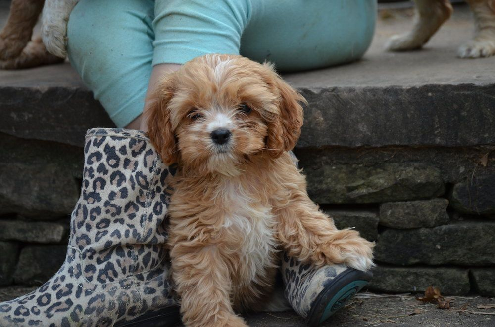 Pin by Clare on Buy This Cavapoo, Cavapoo puppies