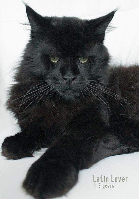 We Ve Had Maine Cats Before But I Never Seen A Face Like This One Newanhof S Australia