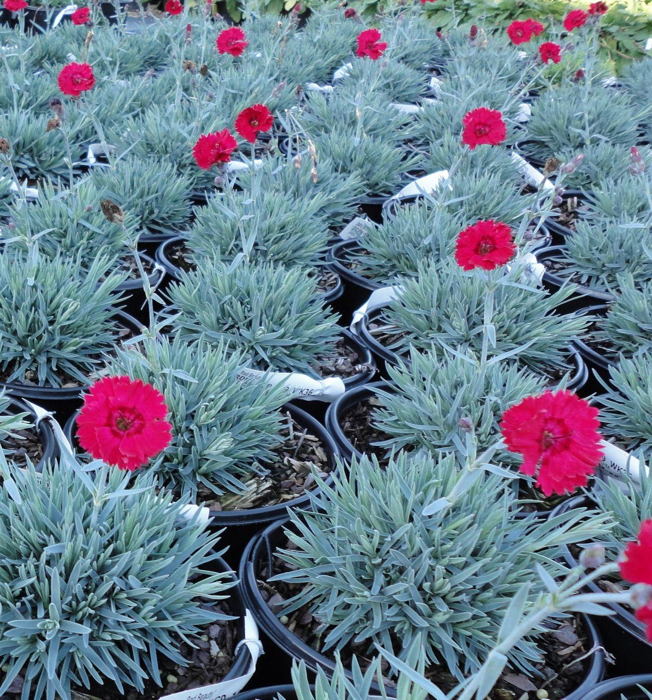 Dianthus Red Beauty Perennials Johnson Nursery