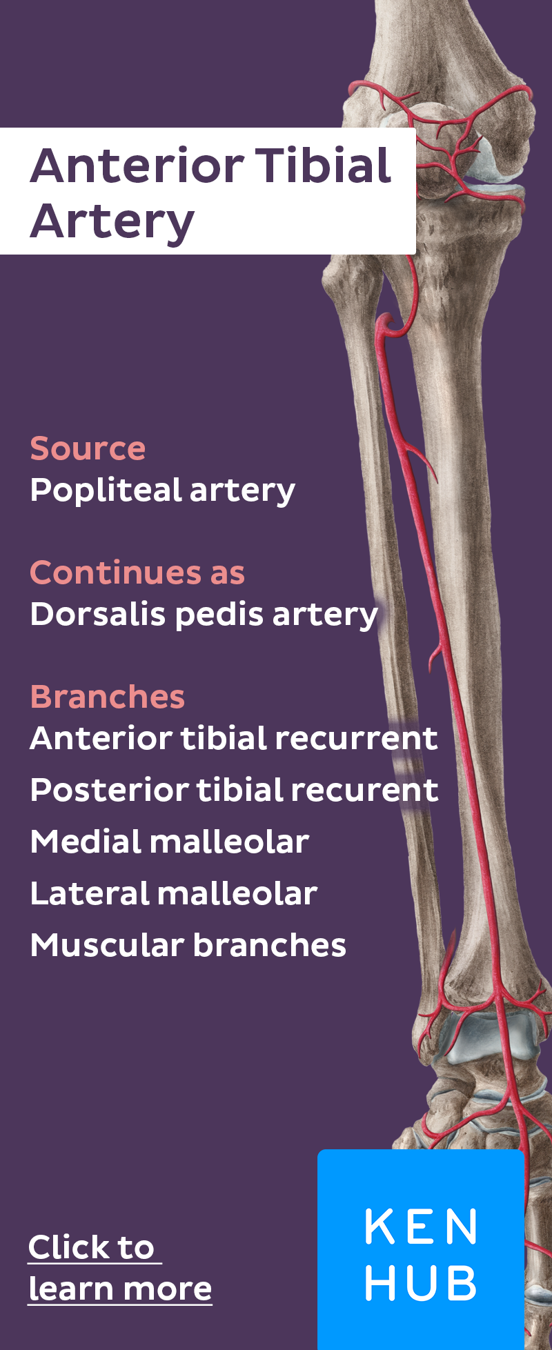 arteryfacts #learn #anatomy | Body Therapy Studies | Pinterest