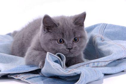 Kartauserkatze Katzen Bkh Katzen Britisch Kurzhaar