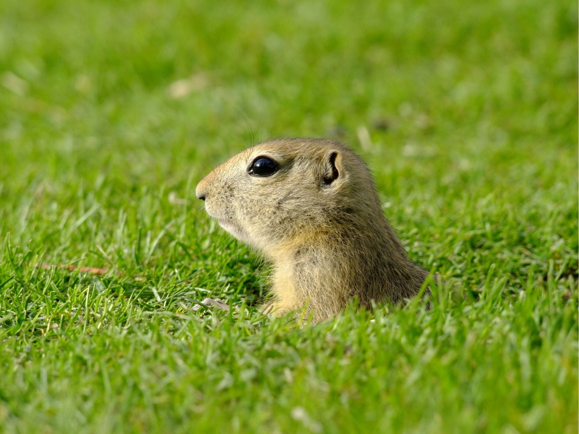 How To Get Rid Of Gophers Naturally Without Poison Or Gas