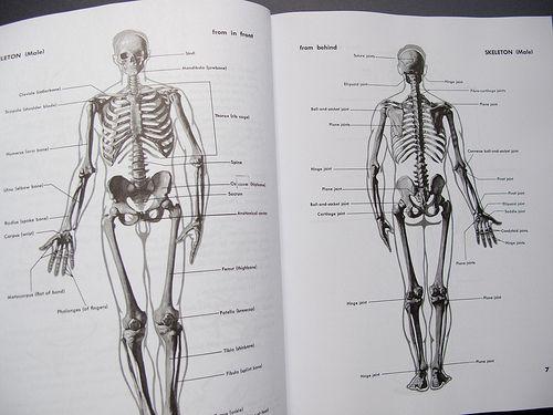 Sarah Simblet Anatomy For The Artist Gallery - human anatomy diagram ...