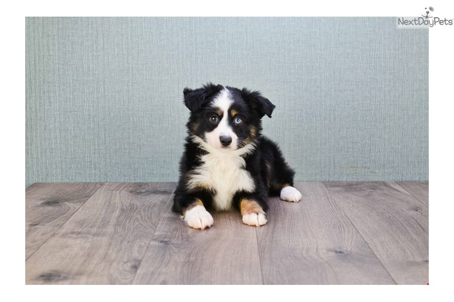 Australian Shepherd Puppy For Sale Near Columbus Ohio 97fc039c A1c1 Australian Shepherd Puppy Australian Shepherd For Sale Australian Shepherd