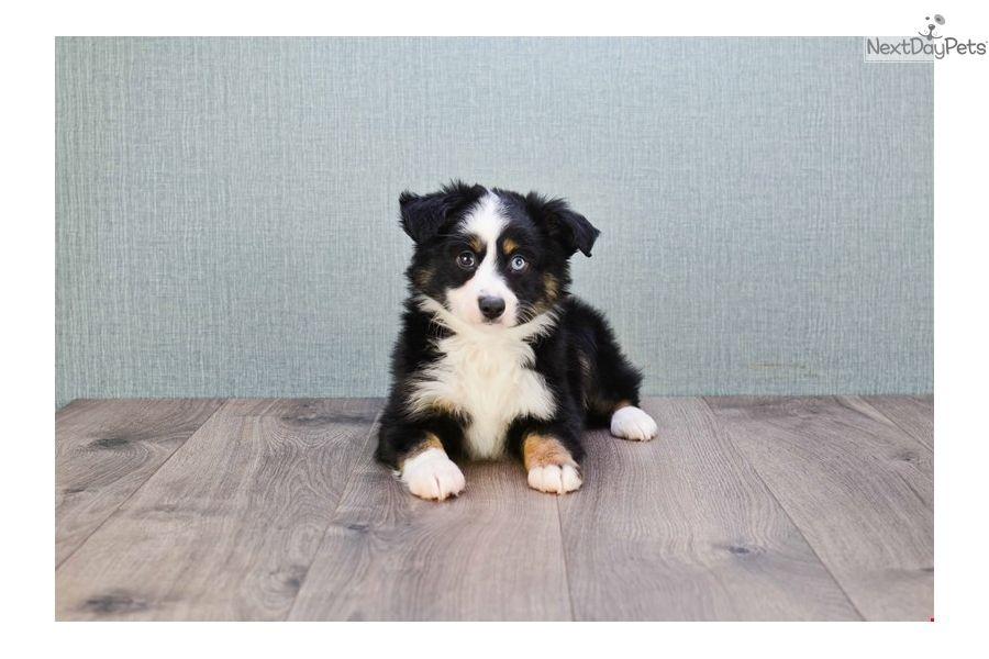 Australian Shepherd Puppy For Sale Near Columbus Ohio 97fc039c A1c1 Australian Shepherd Puppy Australian Shepherd For Sale Australian Shepherd