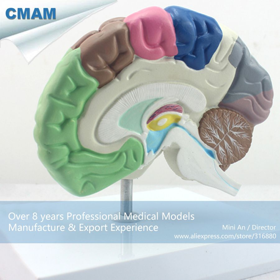 Cmam Brain09 Anatomy Human Functional Colored Brain Model Medical