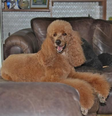 Pin On Poodles Other Lovely Animals