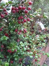new-zealand-cranberry-chilean-guava | Organic vegetable ...