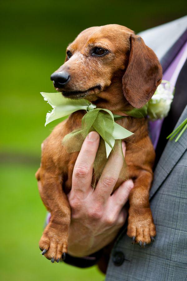 Vermont Wedding From Corey Hendrickson Dachshund Dachshund Love