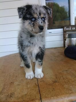 Pomsky Puppies For Sale Lancaster Puppies Puppies For Sale