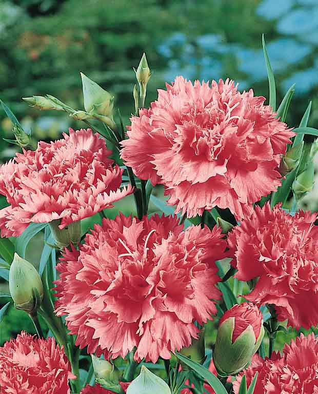 Pin By Mikaela Hunt On Garden 2017 Wish List Dianthus Flowers Flower Seeds Flowers Perennials