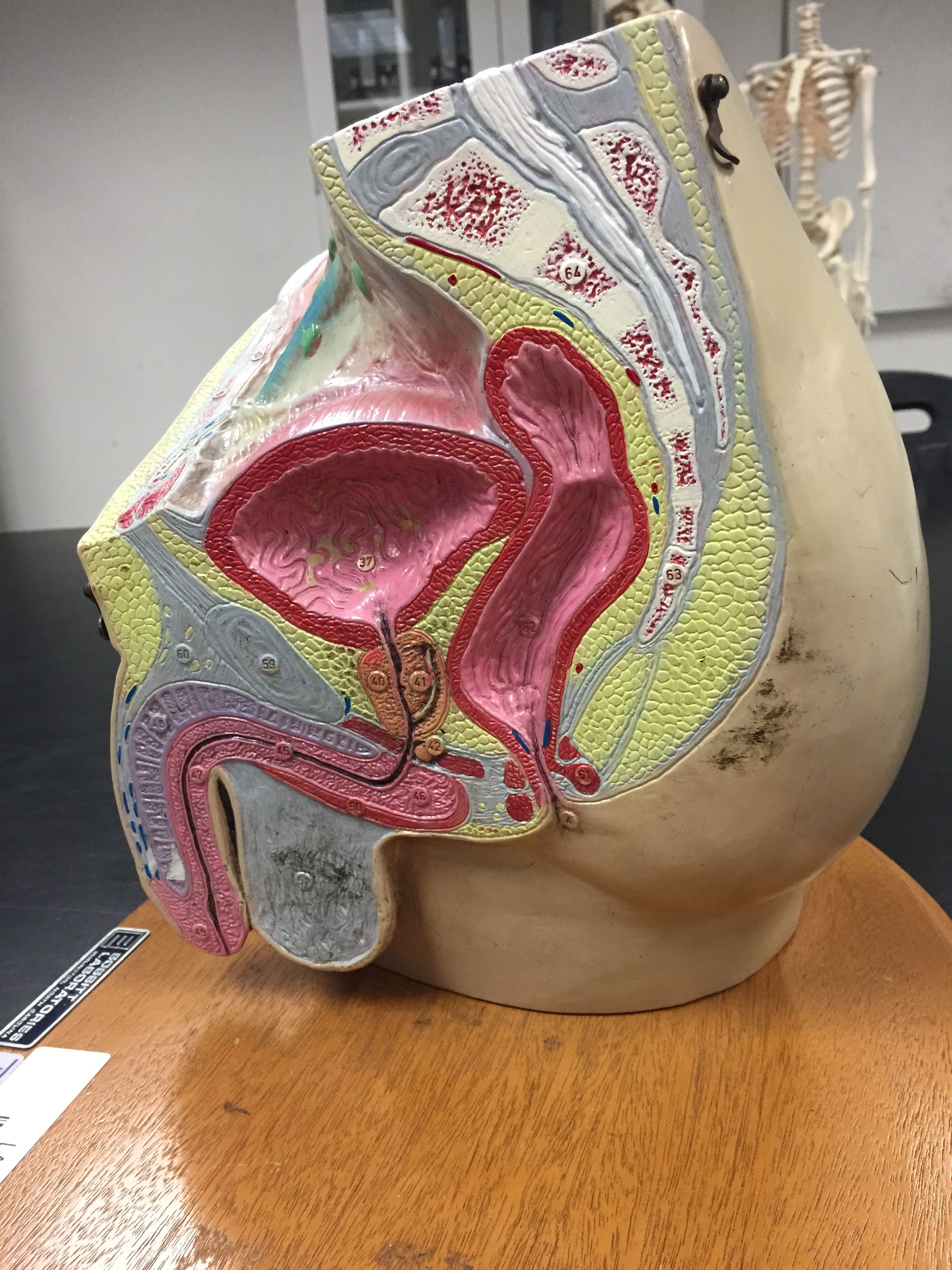 Lacc Model Of Male Reproductive System