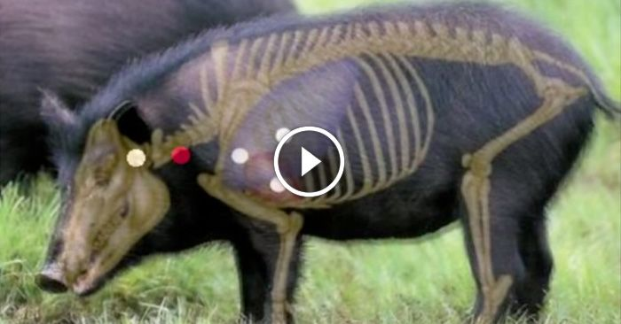 A chimp-pig hybrid origin for humans?