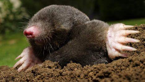 Schatgravende mol helpt Deense archeologen een handje - Dierenwelzijn - TROUW