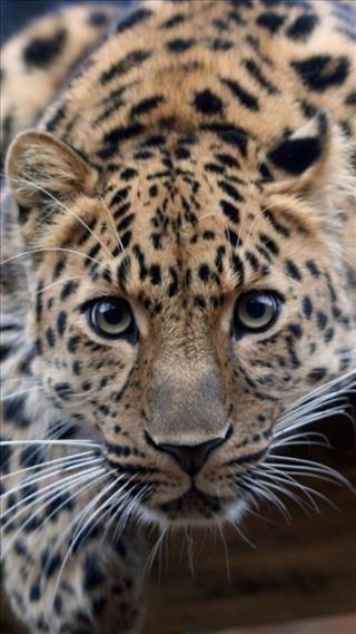 Fond D Ecran Leopard Leopard De L Amour Animaux Petit Felin