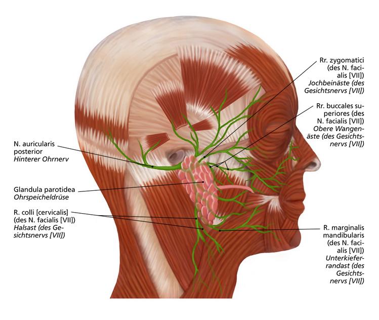 Gesichtsnerven | Anatomie | Pinterest