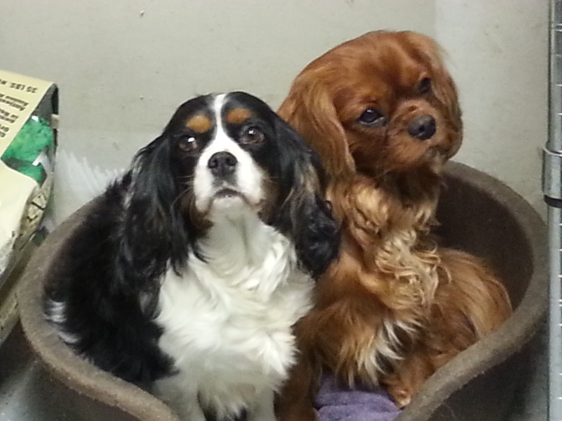 Cavalier King Charles Spaniel Dogs for Sale in NY and CT