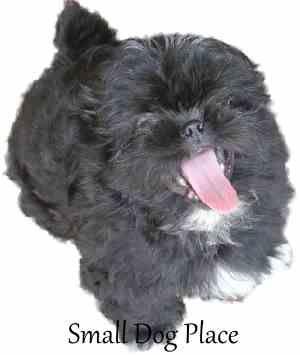 100 Clever Black Dog Names Black Dog Names Dog Names Shih Tzu Puppy