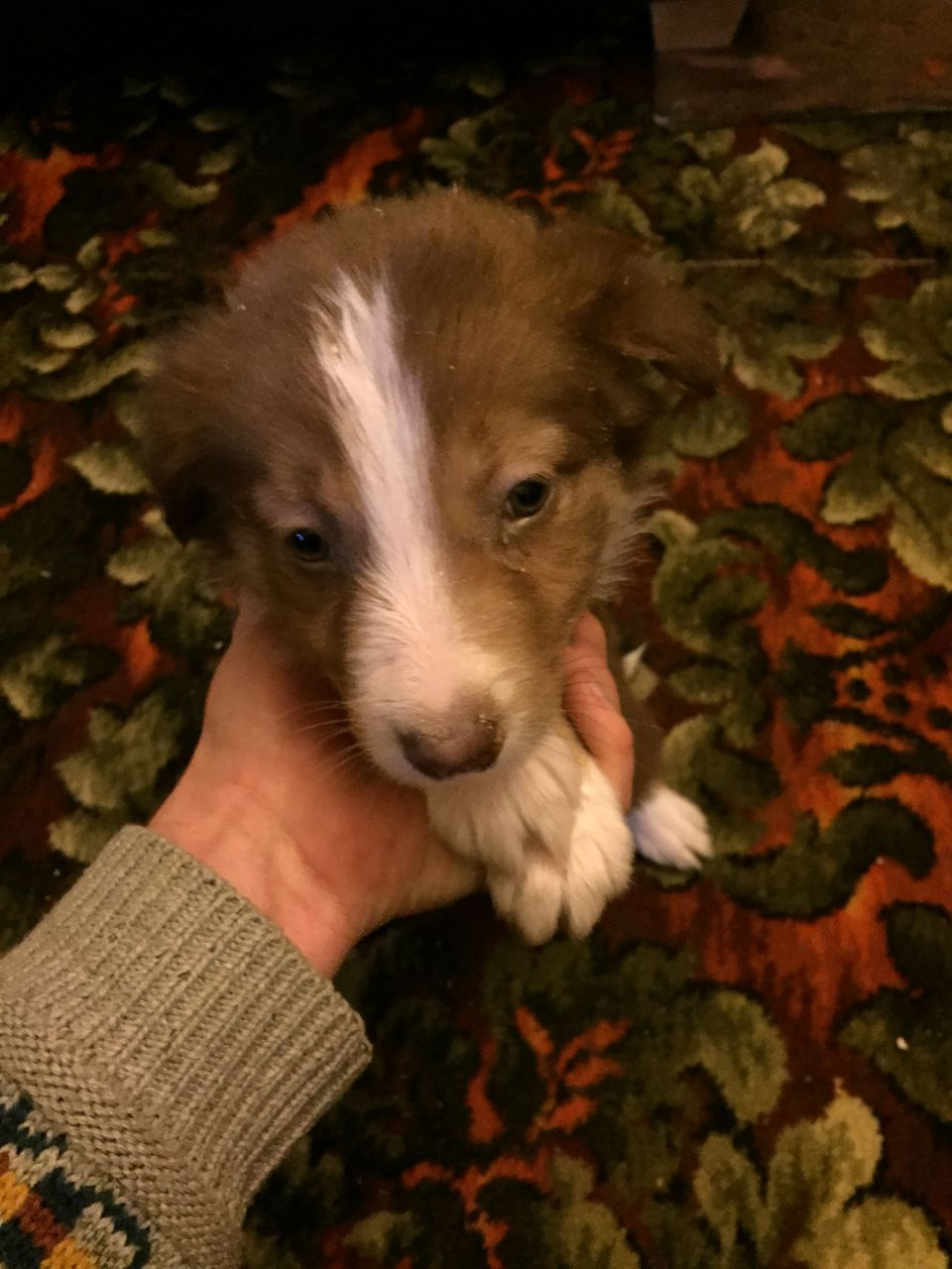 Border Collie Pups Red Pups Also Black White And Tan Ready To Go Chipped And Wormed Parents Can Be Seen Loving Homes Border Collie Puppies Border Collie Collie