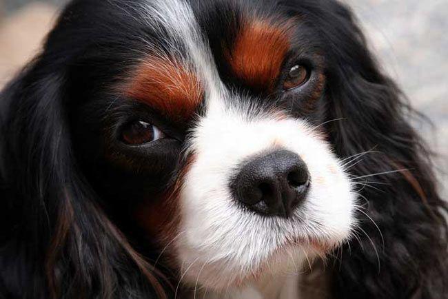 ... ce splendide cavalier king-charles prénommé Bailey . By Slowitdown