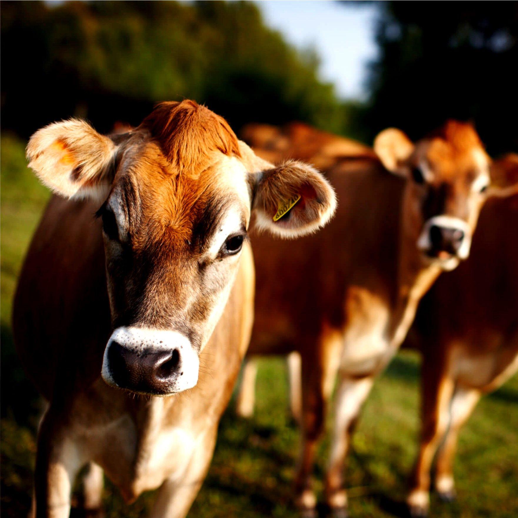Boyden's Brown Cow Cow, Farm cow, Coffee valentines