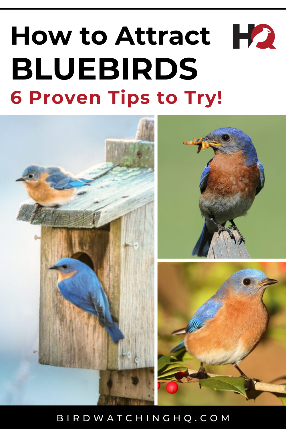 How To Attract Bluebirds: 6 Proven Tips (2020) in 2020 ...